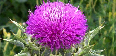What is Milk Thistle?